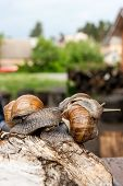 Постер, плакат: Group Of Big Burgundy Snails helix Roman Snail Edible Snail Escargot Crawling On The Trunk Of O