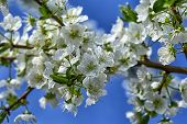 Spring Flowering Tree Against The Blue Sky. Fruit Flowering Trees. Delicate Flowers Blossoming Tree. poster