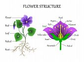 Vector Education Diagram Of Botany And Biology, The Structure Of The Flower In A Section. Training B poster