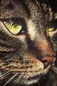 Macro Portrait Of A Cute Domestic Cat, European Shorthair With Tabby Face poster