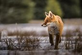 Fox In Green Forest. Cute Red Fox, Vulpes Vulpes, At Forest With Flowers, Moss Stone. Wildlife Scene poster
