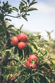 Apple Orchard Full Of Riped Red Fruits At Sunny Summer Day poster
