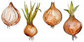 Onion Wild Vegetables In A Watercolor Style Isolated. Full Name Of The Vegetables: Onion. Aquarelle  poster