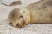 Galapagos Sea Lion cub lying sleeping in sand lying on beach Galapagos Islands. Animals and wildlife poster