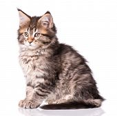Maine Coon kitten 2 months old. Cat isolated on white background. Portrait of beautiful domestic bla poster