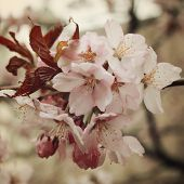 Cherry Flowers In Bloom. Aged Photo. Flowers Bloom In Spring Season. Sakura Blossom Time. Blossoming poster