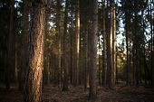 Lovely late summer forest landscape with warm evening sunlight backlighting the trees poster