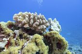 Colorful Coral Reef At The Bottom Of Tropical Sea, Violet Cauliflower Coral, Underwater Landscape poster