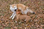 American Staffordshire Terrier Puppy And Akita Inu Puppy Are Playing In The Autumn Park. Pet Animals poster