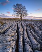 Portrait Of Lone Ash Tree In Limestone Pavement, Above Malham Village In The Yorkshire Dales Where T poster