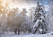 Winter Landscape. Forest In The Snow At Sunset Or Dawn. The Branches Of The Trees Are Covered With A poster