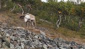 View Of Down Land, Mountains And A Lonely Reindeer In The Terrain. poster