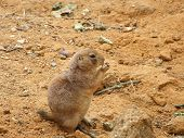 Thick Gophers (squirrels) Sitting On The Sand poster