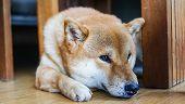 Sad Dog Laying Down On Floor At Home / Japanese Shiba Inu Dog Small Size , Sleeping Dog Lonely Anima poster