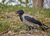image of caw  - Crow sitting on the ground and holding in the beak piece of walnut - JPG
