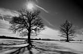Two Oaks On Winter Field