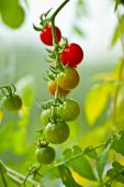 picture of tomato plant  - Fresh green ripe tomatoes on the plant - JPG
