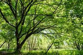 picture of temperance  - Maple tree at spring in a temperate climate park - JPG