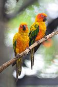 foto of sun perch  - Colorful of two yellow parrots - JPG