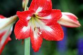 pic of six-petaled  - red and white six petals flowers at the Gardens - JPG