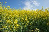 picture of biodiesel  - Oilseed Rape - JPG