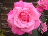 stock photo of english rose  - Pink English rose in full bloom with its pink petals fully opened - JPG