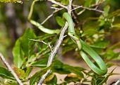 stock photo of harmless snakes  - A Rough Green Snake crawling on a tree - JPG