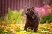 foto of portrait british shorthair cat  - brown british shorthair purebred cat walking outdoors - JPG