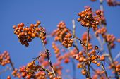 picture of mountain-ash  - Red Mountain Ash with Blue Sky Background Closeup - JPG