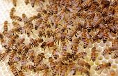 image of laying eggs  - Close up selective focus of a queen bee laying eggs while being attended by worker bees on a new fresh clean frame - JPG