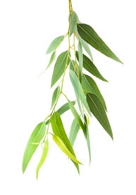 image of eucalyptus leaves  - eucalyptus branch isolated on a white background - JPG