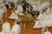 picture of pig-breeding  - Pigs reared in large scale firm keeping - JPG