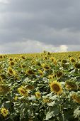 foto of heliotrope  - a cultivated flowering sunflower field - JPG