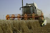 picture of threshing  - The big harvesting machine harvest the crop - JPG