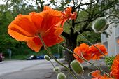 picture of orange blossom  - Poppies blossoming in strong orange color by a street - JPG