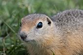 picture of gopher  - young nosy gopher in the middle green grass - JPG
