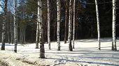 picture of birching  - Snow cover and little grove of birches - JPG
