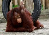 stock photo of orangutan  - orangutan playing with try and rope on stone ground - JPG