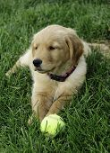 stock photo of golden retriever puppy  - Golden retriever puppy laying in the grass with a tennis ball at its feet.
