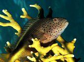 stock photo of hawkfish  - Freckled Hawkfish  - JPG