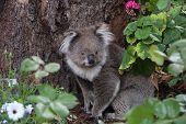picture of koala  - A picture of a koala in its habitat  - JPG
