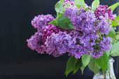 picture of lilac bush  - Fresh Lilac flowers close up  on black background - JPG