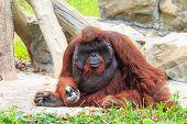 foto of orangutan  - Bornean orangutan - JPG