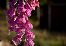 picture of digitalis  - Foxglove common foxglove purple foxglove or Digitalis purpurea flower macro - JPG