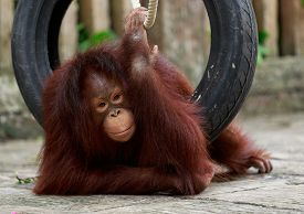 pic of orangutan  - orangutan playing with try and rope on stone ground - JPG