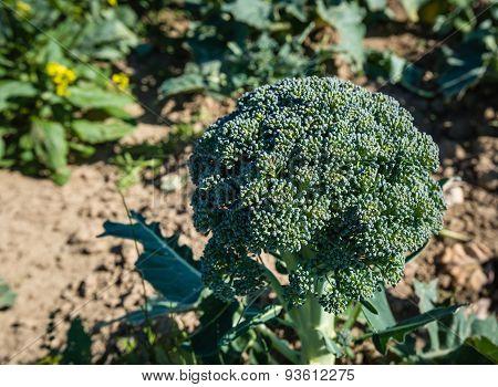 the utilization of broccoli plant brassica