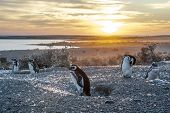 foto of early morning  - Magellanic Penguins very early golden morning at Natural protected area Punta Tombo Chubut Patagonia Argentina  - JPG