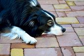 foto of collie  - Dog border collie of nature dog  plants grass green - JPG