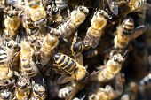 stock photo of swarm  - a large swarm of bees sitting on the trunk of a tree macro - JPG