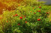 foto of marigold  - Marigold flower in the sunlight - JPG